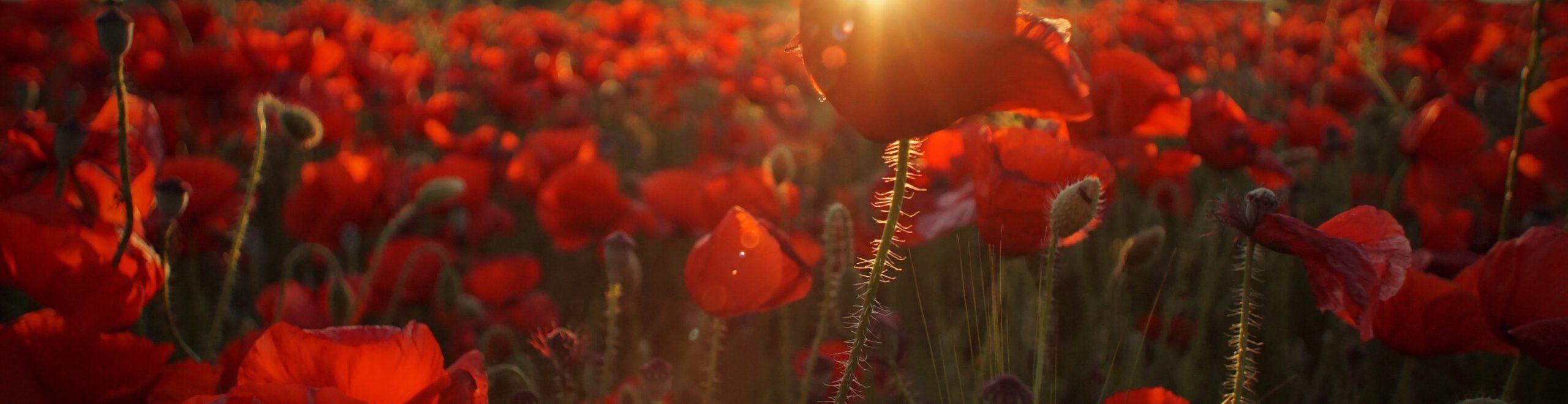poppies blooming
